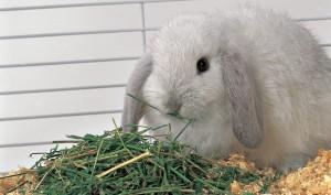 conejo comiendo heno