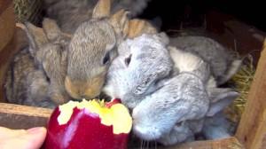 conejos y manzanas