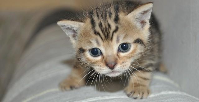 gato amasa