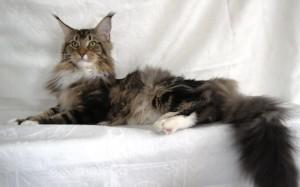 Maine coon raza gato