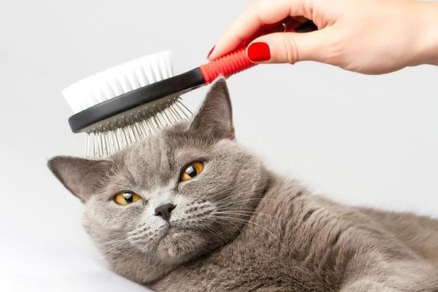 Como Elegir El Mejor Peine Para Tu Gato