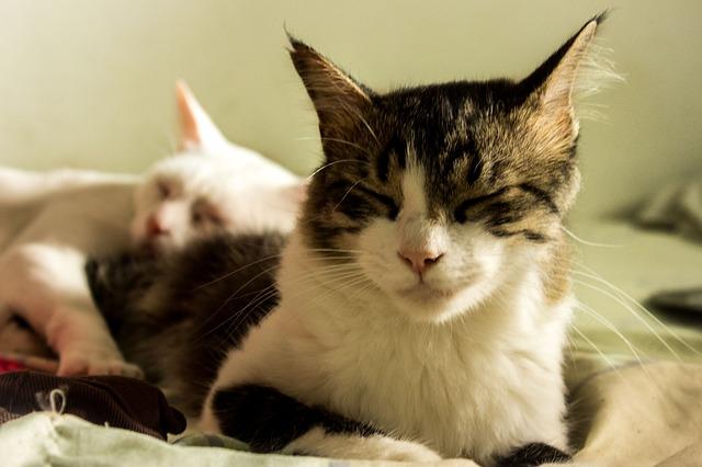 que es la leucemia felina