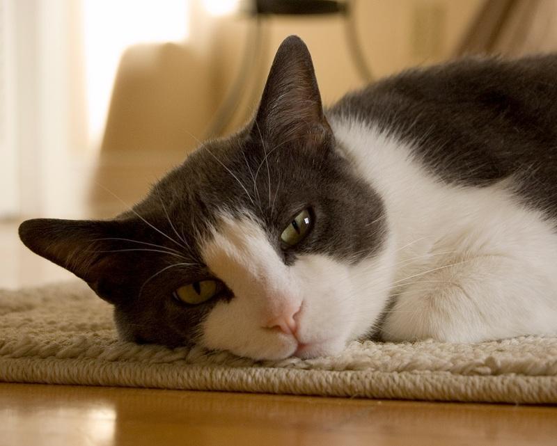 gato astenia