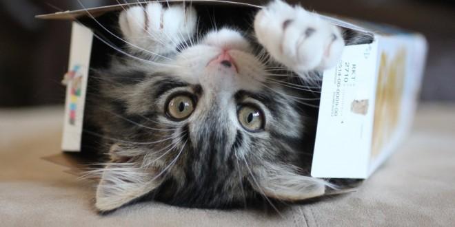 gato y caja