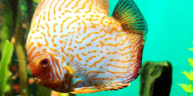 pez-disco