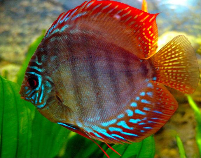 pez-disco2