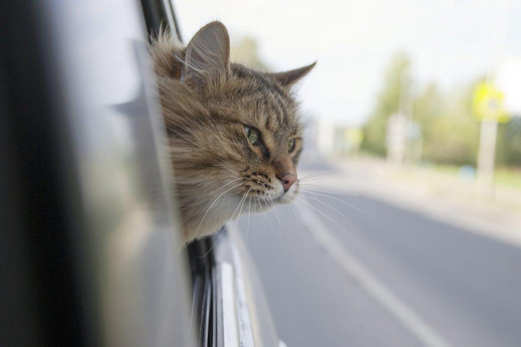 acostumbrar al gato al coche