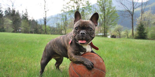 bull-dog-frances