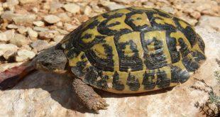 tortuga-de-tierra