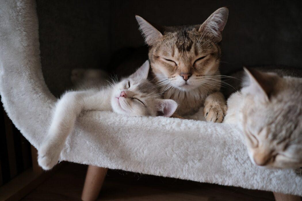 edad-esterilizar-gato