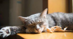 trastorno de pica gatos