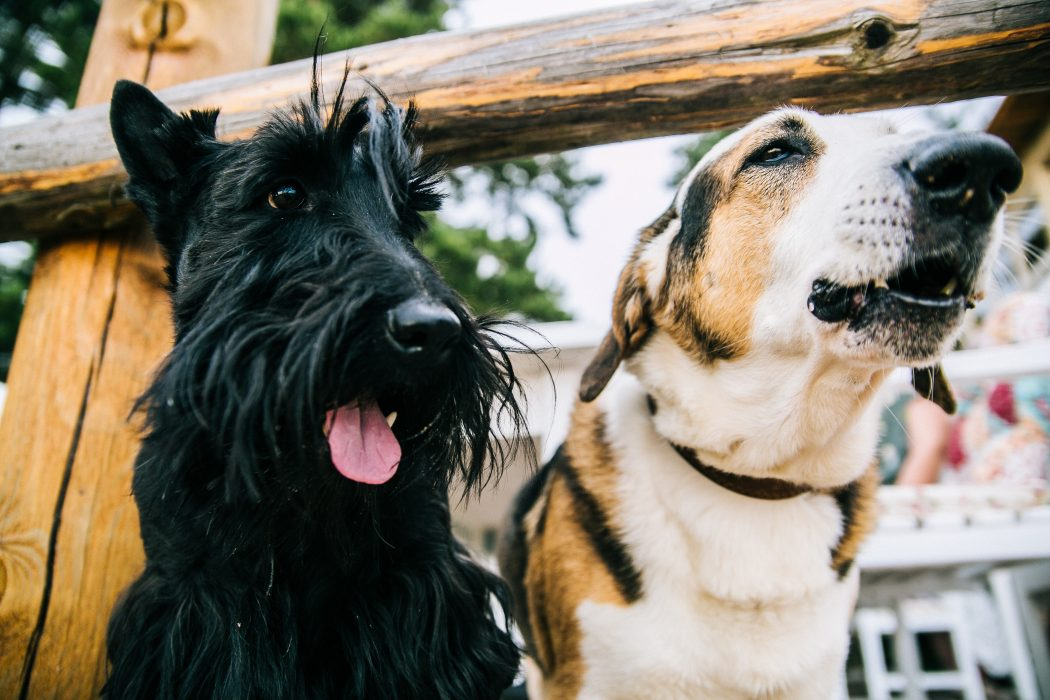 parvovirosis-canina