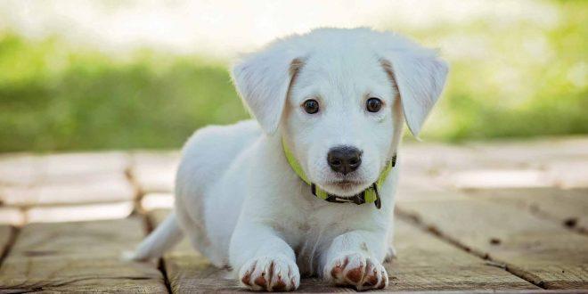 señales-de-que-tu-perro-tiene-dolor
