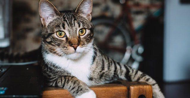 leptospirosis-felina