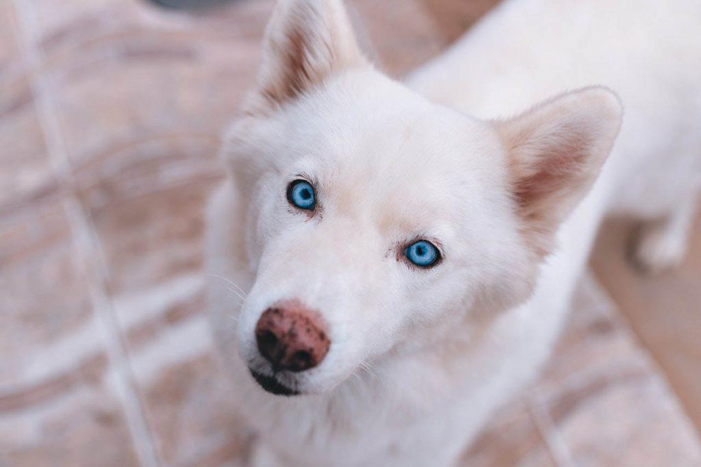 limpiar-ojos-de-tu-perro