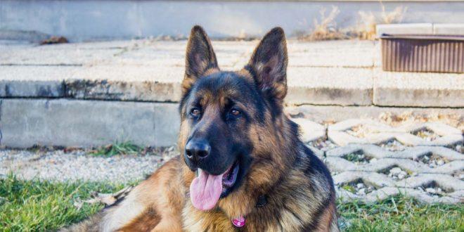torsion-gastrica-en-perros