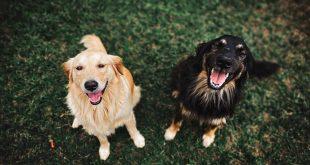el-celo-en-perros