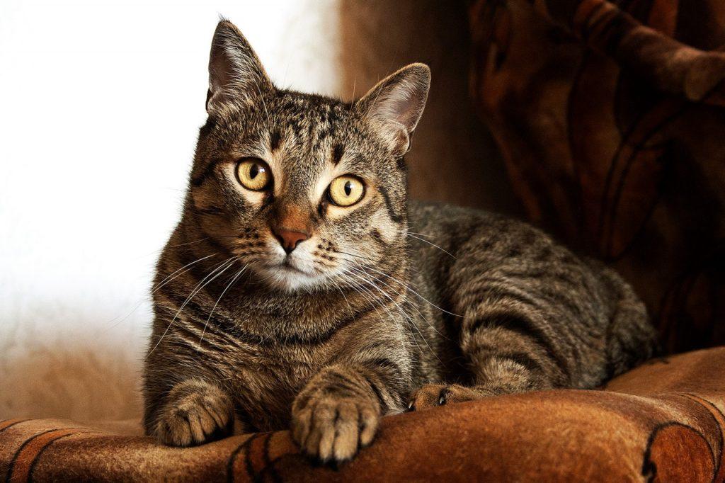 tratamiento-coronavirus-felino