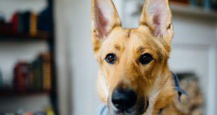 otitis-en-perros