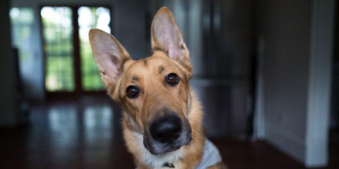 limpiar-orejas-a-un-perro