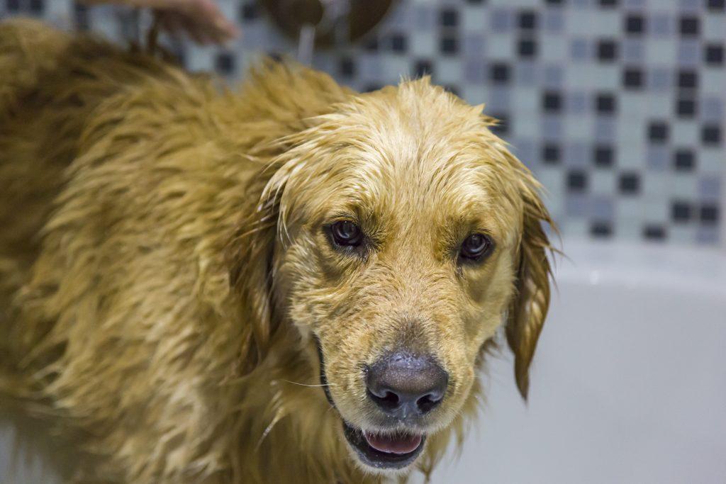 paso-a-paso-para-bañar-a-un-perro-en-casa