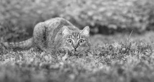 gato-carnívoro-estricto
