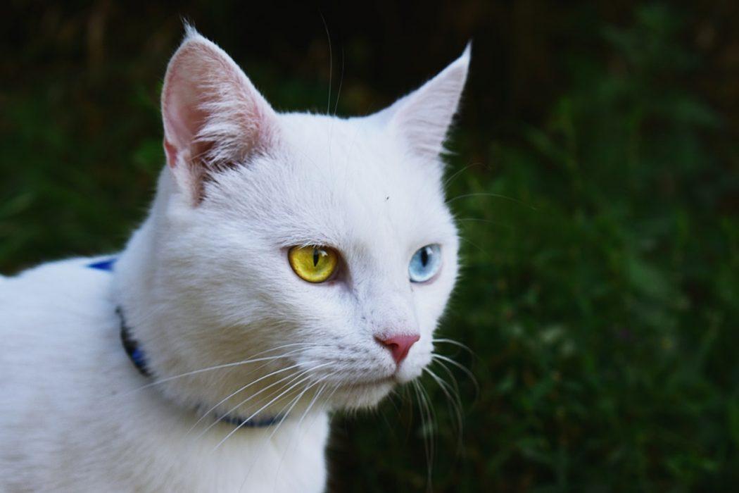 desparasitar-gatos-collares