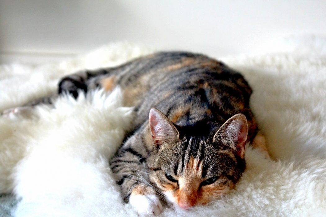 desparasitar-gatos-pipetas